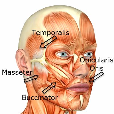 facemuscles.jpg